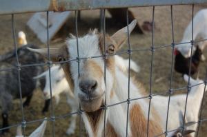 Hello Mr Goat!